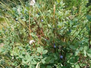 fleurs myrtilles