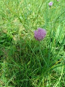 fleurs8 ciboulette sauvage